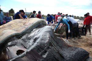 Mérida, 29 Feb. 2016 (Notimex-Hugo Borges).-Científicos del área marina así como estudiantes de veterinaria iniciaron las labores de necropsia de la ballena de aleta que recaló ayer al puerto de Progreso, para determinar la causa de su muerte. NOTIMEX/FOTO/HUGO BORGES/FRE
