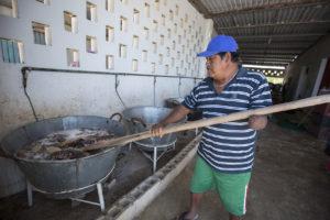 Después del pesaje del pepino se meten los kilos en el sancochadero, que son toneles de agua hirviendo los cuales sirven para su conservación durante el proceso de traslado hacia mercados internacionales.