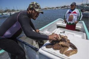 El mercado asiático es el principal consumidor del pepino de mar, por lo cual, se llegan a pagar grandes cantidades de dólares por sus kilos.